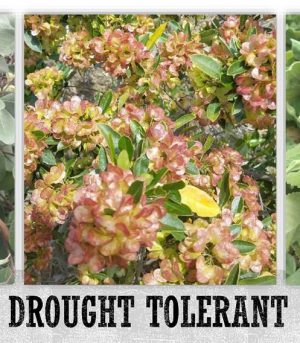 Native Drought Tolerant Plants